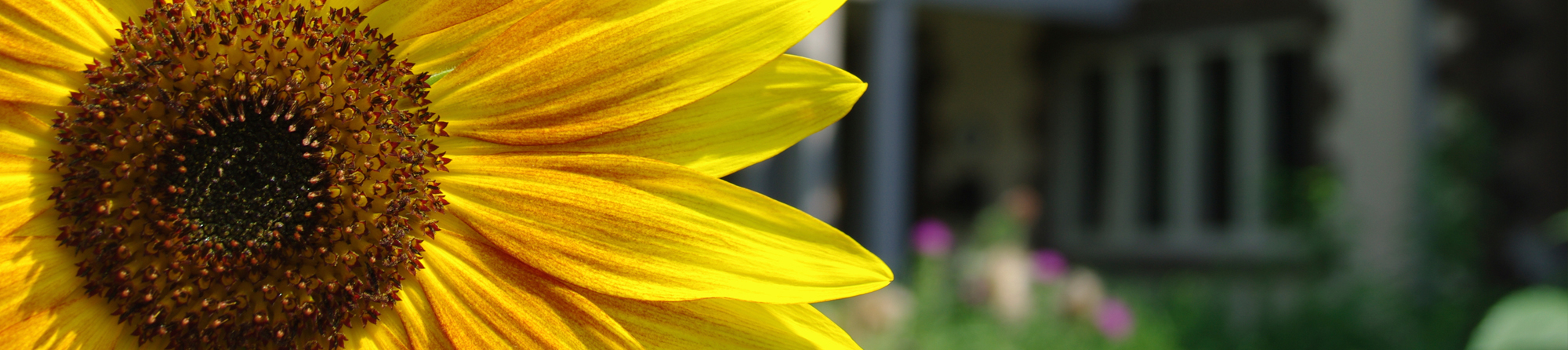 close up of large yellow sunflower