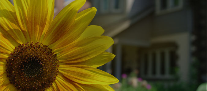 large colorful yellow sunflower