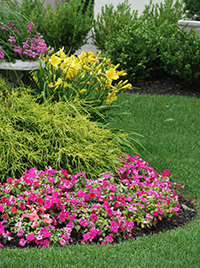 yellow daffodils and pink petunias
