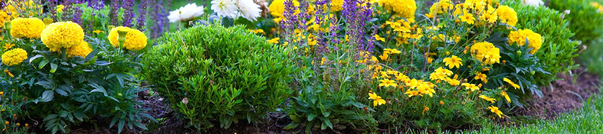 Где и как посадить лаванду на даче и дома семенами и в горшок? 68