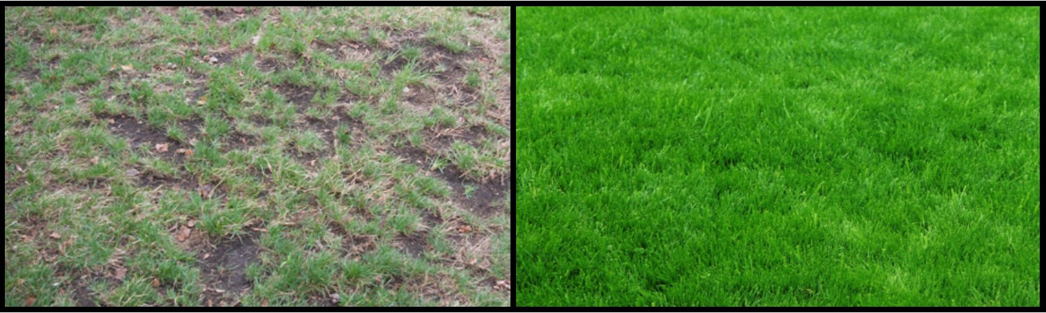 Patchy lawn vs. healthy lawn