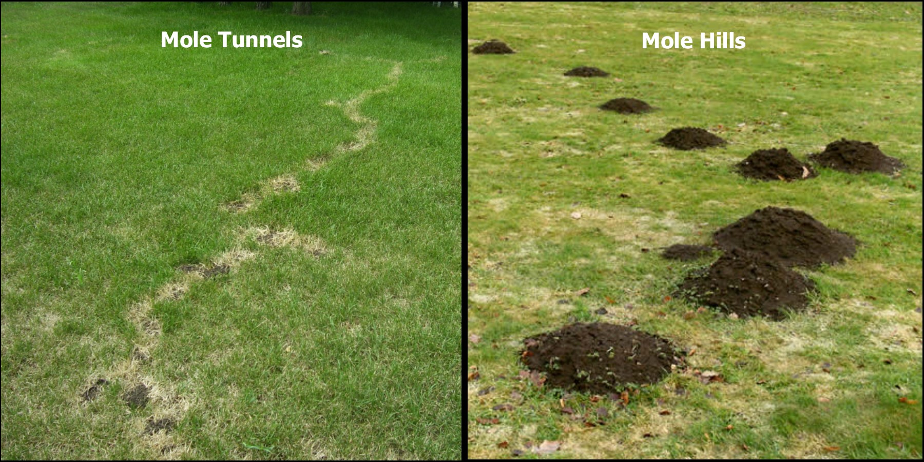 Mole tunnels and mole hills